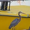 Heron, Santa Barbara Marina