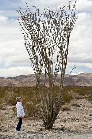 Oggling the Ocotillo