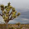 Joshua Tree (Yucca)