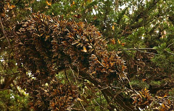 Monarchs Overwintering, Pismo State Beach