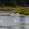 Pelicans on Baum Lake