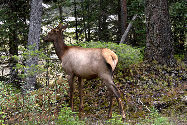 Female Elk in Woods (Yoho)