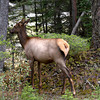 Female Elk in Woods (Yoho)