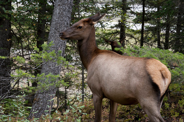 Female Elk (Yoho)