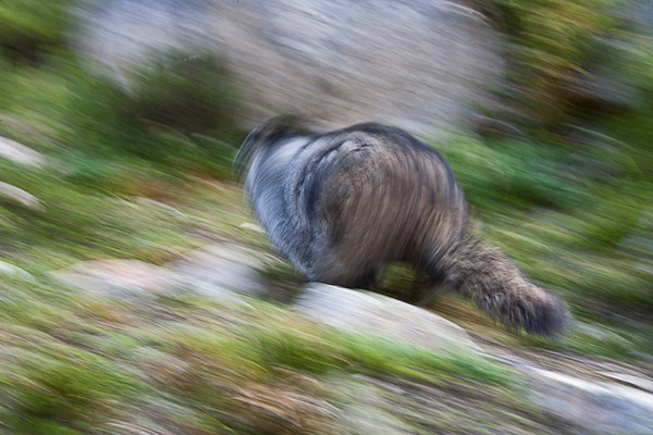 High-tailin' It (Speedy Marmot at Mt. Edith Cavell)