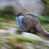 High-tailin' It (Speedy Marmot at Mt. Edith Cavell)