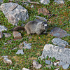 Inquisitive  Marmot (Mt. Edith Cavell)