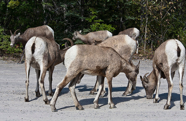 Mountain Sheep Eating Dirt For The Minerals
