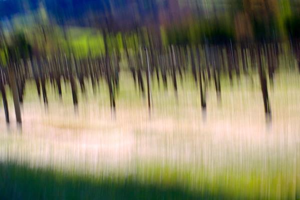 Daisies in the Vineyard