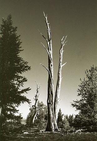 Bristlecone Generations (Ancient Bristlecone Pine NP)