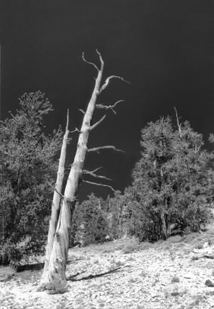 Endurance I (Ancient Bristlecone Pine NP)