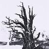 Ancient Bristlecone Pine (Ancient Bristlecone Pine NP)