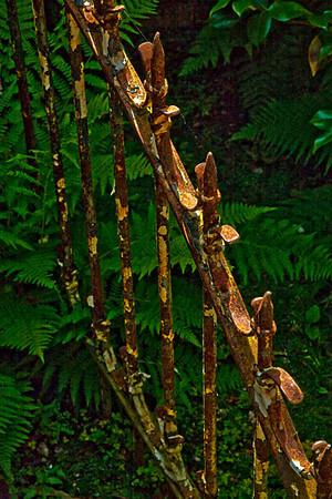 Rusty Fence With Ferns (Filoli Gardens)