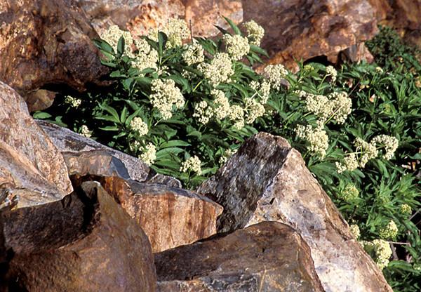 Wildflowers Among Rocks (Barker Pass Road)