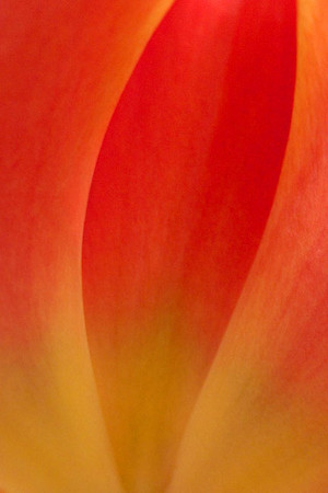 Tulip Abstract I