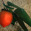 Persimmon At Jordan Winery
