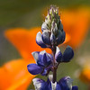Lupine Among Poppies (Shell Creek Road)
