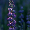 Lovely Lupine at Dusk (Tahoe garden)