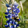 Lupine & Bumble (Shell Creek Road)