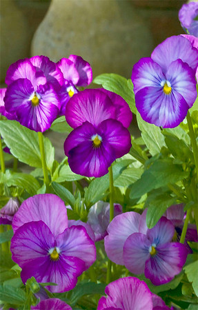 Pansy Patch I