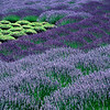 Abstract in Lavender (Matanzas Creek Winery)
