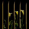 Fence & Callas
