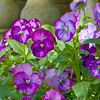 Pansy Patch II