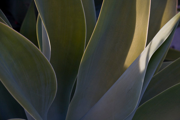 Succulent As Abstract (basis for Edges Variations)