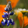 Lupine Among Poppies & Tidytips (Shell Creek Road)