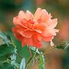 Monet's Rose (Monet Garden, Giverney, France)