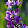 Graceful Lupine (Shell Creek Road)