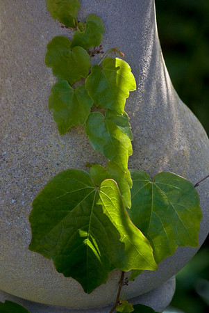 Ivy on the Balustrade