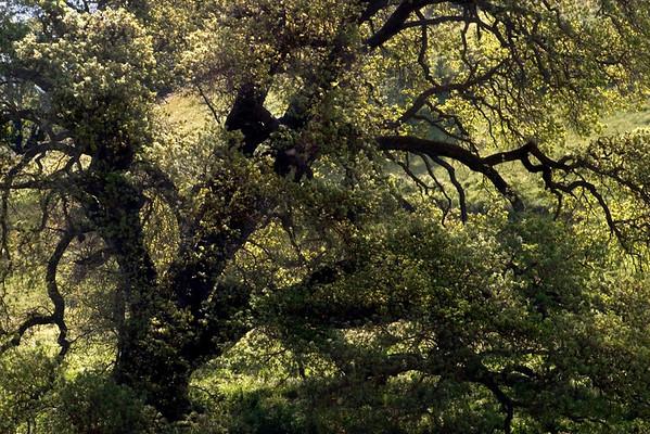 Oak Tree (Bitter Water Road)