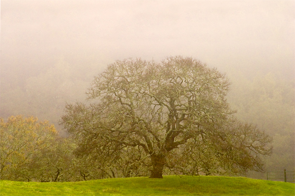 Winter Oak in Fog