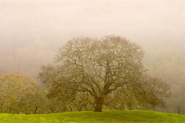 Winter Oak in Fog