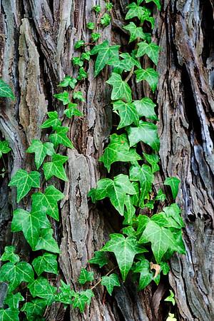 Ivy on Bark (Rodney Strong Winery)