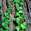 Ivy on Bark (Rodney Strong Winery)