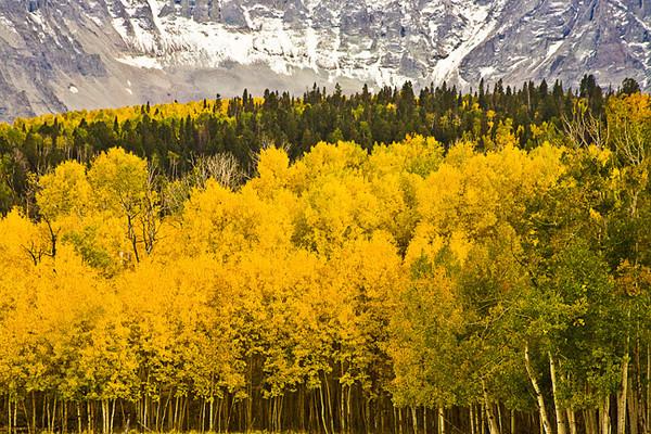 Aspen Row Against The Mountain