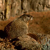 Marmot on Canyon Rim