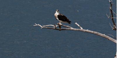 It's MY Fish! (Osprey at Jenny Lake)