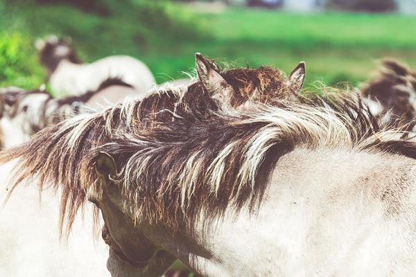 Konik Pony