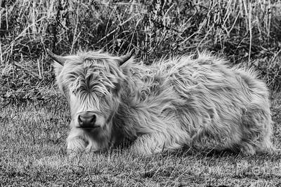 Highland Cows on The Isle of Skye