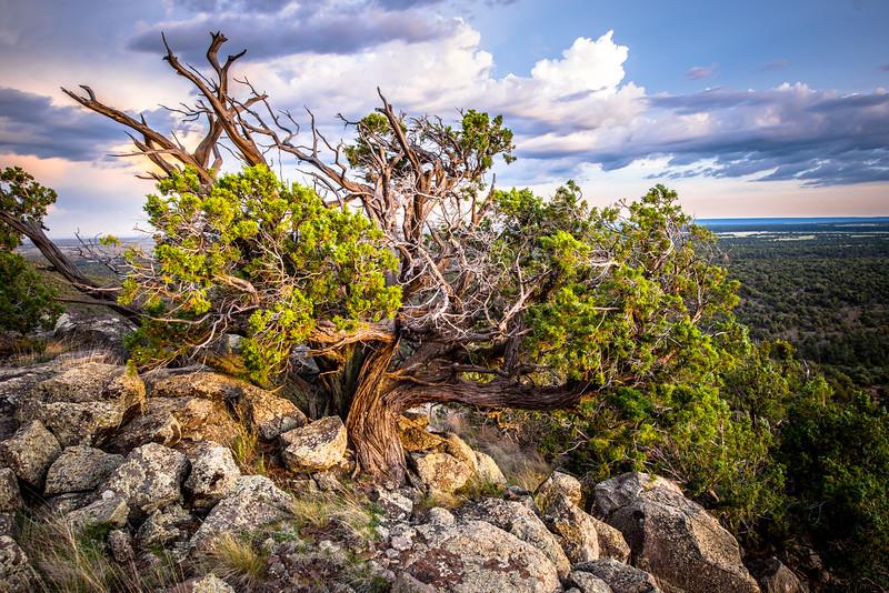 The sentinel, juniper tree, photography by Tony Marinella