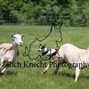 Petey herding 2 sheepPC