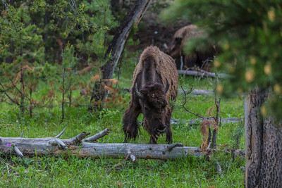 Yellowstone-NP-011