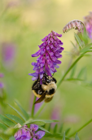 Vicia Cracca and Bumble Bee