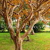 A color image of nearly-bare crepe myrtle trees on Virginia's Eastern Shore
