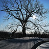 Large tree at John F. Kennedy gravesite at Arlington National Cemetery - a color image
