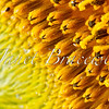 Macro of sunflower stamen and disk in Maryland field - a color image