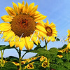 Fisheye view of sunflower field in Maryland field - a color image